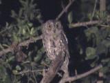 030118 qqqq African scops-owl Kruger NP.jpg
