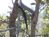 030119 m Long-tailed paradise-whydah Kruger NP.jpg