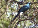 030120 f Meves´s starling Kruger NP.jpg