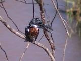 030120 ff Giant kingfisher Kruger NP.jpg