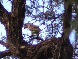 030121 k Meyer´s parrot Barakalalo.jpg