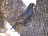 030123 j Pale-winged starling Augrabies fall.jpg
