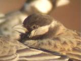 030124 cc Grey-backed sparrowlark Red dunes Pofadder.jpg