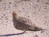 030125 f Namaqua sandgrouse Pofadder-Brandvlei.jpg
