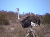 030127 d Common ostrich West coast NP.jpg