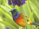 030128 f Orange-breasted sunbird Kirtstenbosch Cape town.jpg