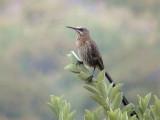 030128 ii Cape sugarbird Kirtstenbosch Cape town.jpg