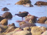 030128 jj African black oystercatcher Cape of good hope.jpg