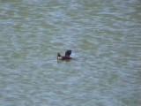 030129 b Maccoa duck Strandfontein Cape town.jpg