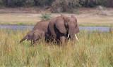 African bush elephant - (Loxodonta africana)