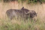 Buffalo - (Syncerus caffer)
