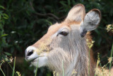 Waterbuck - (Kobus ellipsiprymnus defassa)