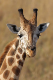 Giraffe - (Giraffa camelopardalis)