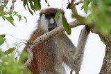 Patas monkey - (Erythrocebus patas)