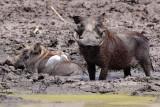 Warthog - (Phacochoerus africanus)