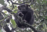Chimpanzee - (Pan troglodytes schweinfurthi)