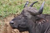 African buffalo - (Syncerus caffer caffer)