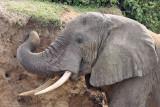 African bush elephant - (Loxodonta africana africana)