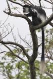 Guereza Black  white colobus - (Colobus guereza)