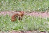 Common dwarf mongoose - (Helogale parvula)