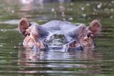 Common Hippopotamus - (Hippopotamus amphibius)