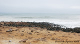 the colony of Cape fur seals