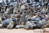 thousands of seals on the beach