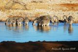 Zebras at Okaukuejo w.