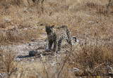 Leopard: a brief apparition for a great emotion