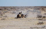 Mortal combat between two jackals and a Kori bustard