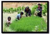 Hmong Kids Transplanting Rice Seedlings, Sapa, Vietnam.jpg