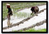 Tay Rice Farming, Laocai, Vietnam.jpg