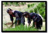 Transplanting Rice Seedlings in Hmong Country, Sapa, Vietnam.jpg