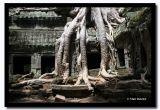 Trees at Ta Prom, Angkor, Cambodia.jpg