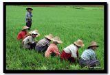 Danu Women Farming Dry Rice, Shan State, Myanmar.jpg