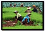 Danu and Pa-o Women in the Fields, Shan State, Myanmar.jpg