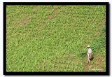 Dry Rice, Shan State, Myanmar.jpg