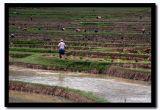 Terrice Rice Paddie Farming, Shan State, Myanmar.jpg