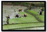 Transplanting Rice Seedlings, Shan State, Myanmar.jpg