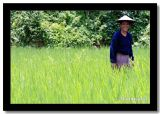 Lady in the Rice Fields, Luangprabang Province, Laos.jpg