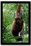 Monkey Business, North Sumatera, Indonesia.jpg