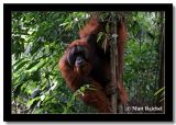 Orang-utan on a Thin Tree, Bukit Lawang, North Sumatera, Indonesia