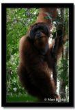 Sumatran Irang-Utan, North Sumatera, Indonesia.jpg
