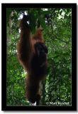 Swinging in the Sumatran Jungle, Bukit Lawang, Indonesia.jpg