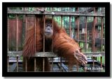 Shake Hands?, Bukit Lawang Natl Park, North Sumatera, Indonesia