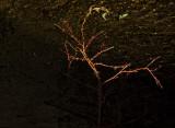 Fire Thorns Lone Pine, California - April 2008