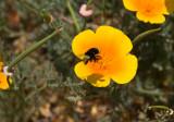 Loaded Bee Mariposa, California - May 2008
