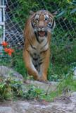 Tiger 1 Balboa Park and Zoo, San Diego, California - September 2010