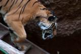 Tiger 2 Balboa Park and Zoo, San Diego, California - September 2010