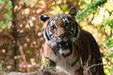 Tiger 3 Balboa Park and Zoo, San Diego, California - September 2010